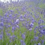 早咲きは開花直前から見ごろのピーク
