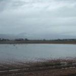 ラベンダーにも大雨の被害