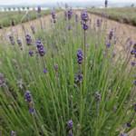 枯れる被害の大きいラベンダー畑
