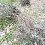 久方ぶりにラベンダーの種を蒔く