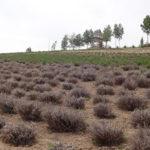 枯れの目立つラベンダー畑